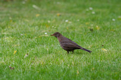 Blackbird and Grass Royalty Free Stock Image