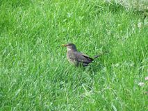 blackbird-in-the-grass Royalty Free Stock Photos