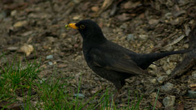 Blackbird in the grass fielding earthworms. A male blackbird running in the grass, catching earthworm in is small yellow beak stock photography