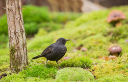 Blackbird on green moss Royalty Free Stock Photo