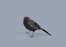 Blackbird vector illustration