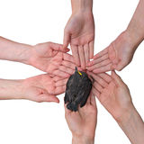 Blackbird on hands together. Many hands together: group of people joining hands to hold a small blackbird isolated on white background Royalty Free Stock Image