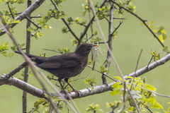 Blackbird in Hawthorn carrying Nesting Material Stock Images