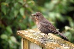 Blackbird hen. View of  a blackbird hen in profile Royalty Free Stock Photos