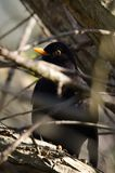 Blackbird hiding. A Blackbird hiding in the branches of a tree Royalty Free Stock Photos