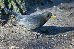 Blackbird hops along the ground in the Park. The male Blackbird in spring plumage. Ornithology, bird watching Royalty Free Stock Photo