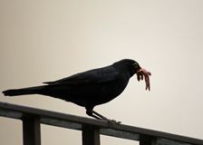 Blackbird hunting with a worm in the yellow beak Royalty Free Stock Image
