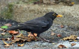 Blackbird hunting with a worm in the yellow beak Stock Photo