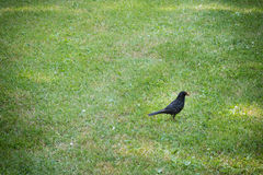 Blackbird hunting for worms Royalty Free Stock Photo