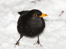 Blackbird i snowen Arkivfoton