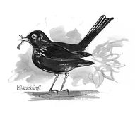 Blackbird illustration. Pen and ink illustration of Blackbird Stock Images