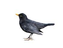 Free Blackbird Isolated On White Stock Photo - 17124500