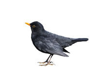 Blackbird Isolated on White Stock Photo