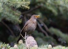 blackbird kobieta zdjęcie stock