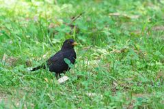 Blackbird lat. Turdus merula is a bird of the genus thrushes the thrush family - in the grass. Blackbird lat. Turdus merula is a bird of the genus thrushes the Royalty Free Stock Photography