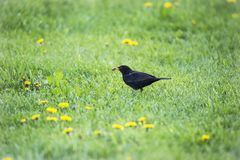 Blackbird in the lawn surrounded by hawkbit. Foraging blackbird in the lawn surrounded by hawkbit with a cockchafer in its bill Stock Photo