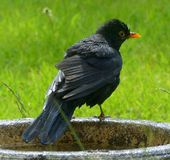 Blackbird, and bird bath. A blackbird leaving the bird bath after splashing in the cool water royalty free stock photo