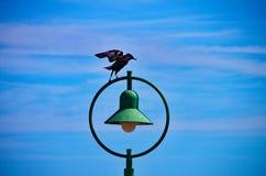 Blackbird on light Royalty Free Stock Photos