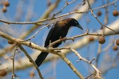Blackbird on a limb. stock photography