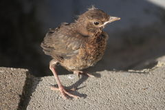 Blackbird. Little Blackbird with a rigid view Royalty Free Stock Photo