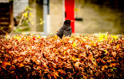 A Blackbird Royalty Free Stock Images