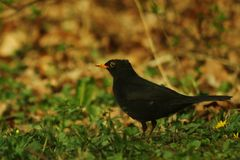 Blackbird looking for worms in a field of grass. In autumn with a colorful background stock photo