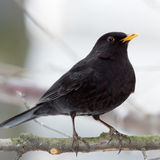 Blackbird male Stock Image