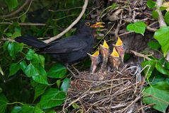 Blackbird male at nest with chicks Royalty Free Stock Photo