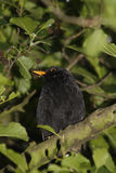 Blackbird. Male blackbird sat on Common Alder branch Stock Photo