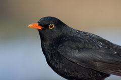 Blackbird. A male blackbird in spring royalty free stock image