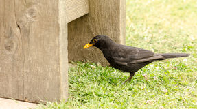 Blackbird Male Royalty Free Stock Photography