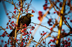 Blackbird. Male blackbird Turdus Merula feeding on hawthorn berries in spring sunshine royalty free stock image
