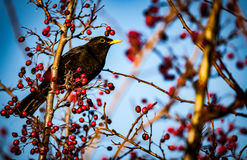 Blackbird. Male blackbird Turdus Merula feeding on hawthorn berries in spring sunshine royalty free stock images