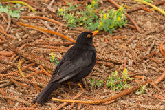 Blackbird. Male Blackbird(Turdus merula) an introduced species to Norfolk Island stock photo