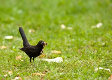 Blackbird on a meadow Stock Photography