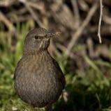 Blackbird med en krokig räkning Royaltyfri Bild