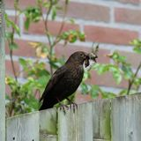 Blackbird with insects for the chicks royalty free stock images
