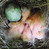 Blackbird  chicks Royalty Free Stock Photo