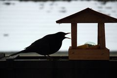Blackbird. On my terrace in winter Royalty Free Stock Images
