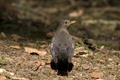 Blackbird in National Park De Hoge Veluwe Stock Photography