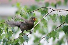 Blackbird in nature Royalty Free Stock Photos