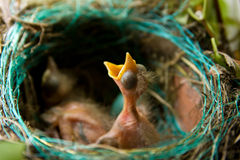 Blackbird  Nest Royalty Free Stock Image