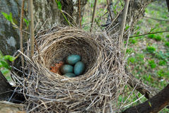 Blackbird nest with eggs royalty free stock photos