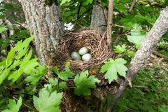 Blackbird nest in the fork of maple field in the forest Stock Photos