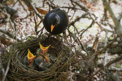 The Blackbird at nest with hungry baby birds. Royalty Free Stock Photography