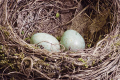 Blackbird nest with two eggs in green shade Royalty Free Stock Photos