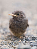 Blackbird nestling Royalty Free Stock Image