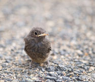 Blackbird nestling Royalty Free Stock Photos