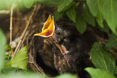 Blackbird nestlings. Young blackbirds in nest on green bush Royalty Free Stock Images