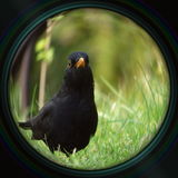 Blackbird in objective lens Stock Photography